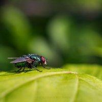 Падальная муха. Отряд двукрылые. :: Vladimir Belchikov