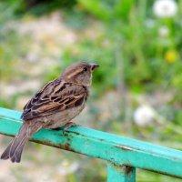 Воробей - птица гордая :: Полина Потапова