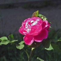 О,роза дивная моя! :: Наталья (D.Nat@lia) Джикидзе (Берёзина)