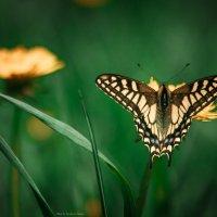 Бабочка на перекусе :: Наталья Терентьева