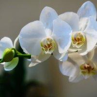 Белая орхидея :: Игорь Лариков