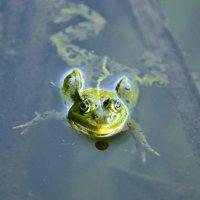 любознательная лягушка :: vg154