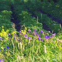 Цветы в огороде :: Валерий Талашов