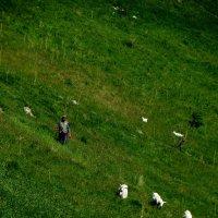 нелегкая работа пастуха :: Ирина Cемко