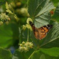 Полёт бабочки :: Balakhnina Irina