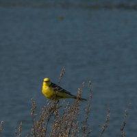 трясогузка на фоне озера :: Сергей Цветков