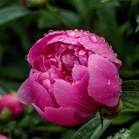 Цветы в моём саду. :: Анатолий. Chesnavik.