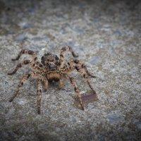 Южнорусский тарантул :: Serg Koren