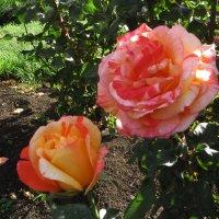 Нас розы нежный аромат,манит в мечтательные дали. :: Наталья Джикидзе (Берёзина)