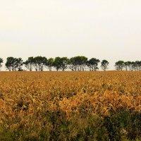 Кукурузное поле :: Сергей Чиняев