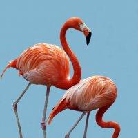 фламинго :: Михаил Бибичков