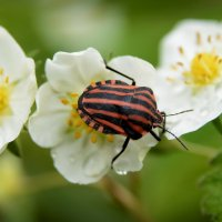 Ж-ж-жук полосатый :: Nikola