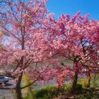 Цветущая сакура :: Герович Лилия