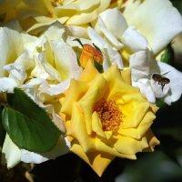 Полет пчелы :: Олег Шендерюк