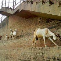 Индия. Козы :: Дарья Фисун