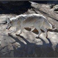 Волчица :: Вера