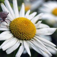 Ромашки привлекают многих насекомых! :: Андрей Образцов