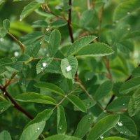капли дождя на шиповнике :: Александр Иванов