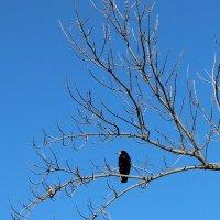 Чернеет мой ворон, такой одинокий, средь голых холодных ветвей... :: Светлана