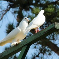 Голубок и горлица никогда не ссорятся... :: Светлана