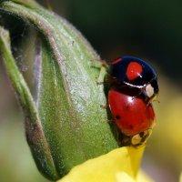 Ladybirds in love :: Олег Шендерюк