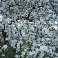 Цветение яблонь в Коломенском :: Аlexandr Guru-Zhurzh