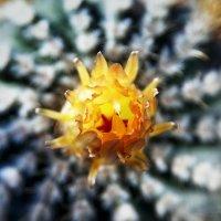 Notocactus янтарный (Аргентина) #2 :: Олег Неугодников