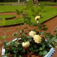 Розы в Летнем саду. (Санкт-Петербург) :: Светлана Калмыкова