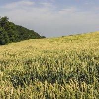 Зреет в поле урожай :: Игорь Сикорский
