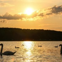 Лебеди :: Oksana Sansnom