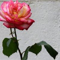Нежной розы огненный рассвет. :: Валентина ツ ღ✿ღ