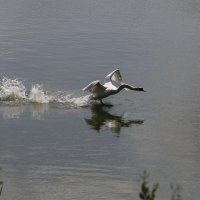 Бегущая по волнам.....или бегущий) Короче лебедь) :: Наталья Мацкевич