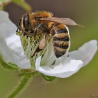 пчела :: Laryan1