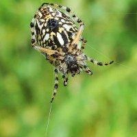 Акулепейра,паук дубовый :: Swetlana V