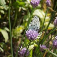 Мечты белой бабочки :: Максим Мальцев