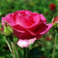 Rose :: Олег Шендерюк