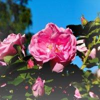 розы садовые :: linnud