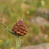 Большеголовник одноцветковый :: Марина Мишутина