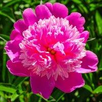 Цветок розового пиона :: Сергей Тагиров