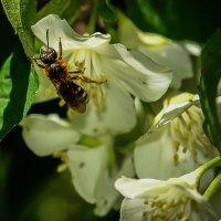 пчёлка в трудах :: Дмитрий Беляков