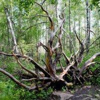 """Вот такая """" Медуза Горгона """"  охраняет девственный таежный лес! :: Надежда"""