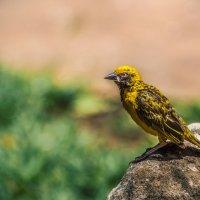 Желтая древесница...(о.Маврикий). :: Александр Вивчарик