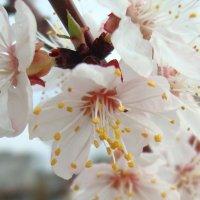 Цветы абрикоса :: Стас Борискин (Stanisbor)
