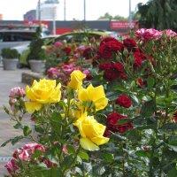 Красота городских роз :: Татьяна Смоляниченко