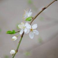 Нежный цветочек алычи :: Светлана Щербак