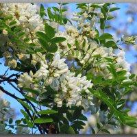 Акация цветёт. :: Геннадий