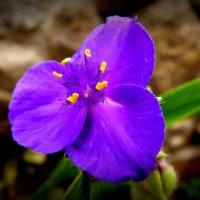 синий маленький цветочек :: Александр Прокудин