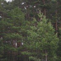 Родной лес... :: Павел Зюзин