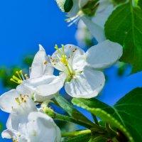 Цветок яблони :: Сергей Тагиров