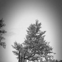 Дерево после грозы :: Сергей Тагиров